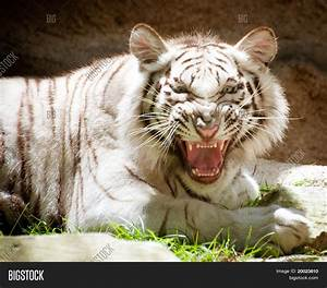 White Tiger Growl