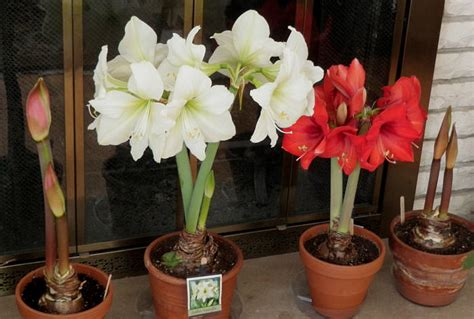 growing amaryllis indoors flowering bulbs indoor