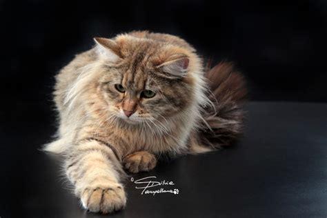 alimentazione a 11 mesi a 11 mesi gatto siberiano e neva masquerade