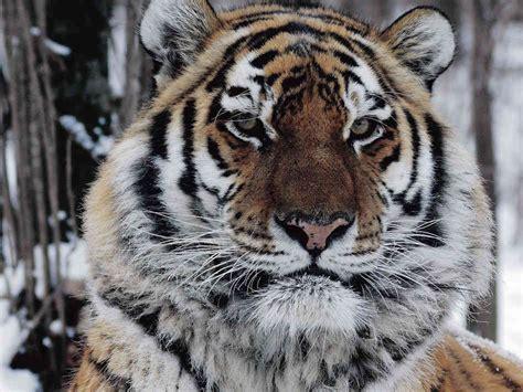 true story   man eating tigers vengeance npr