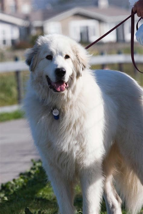 Great Pyrenees Dog Breed » Information, Pictures, & More