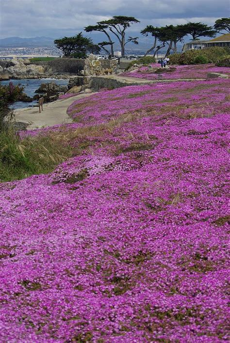 ground cover purple purple ground cover at lovers point photograph by andy fletcher