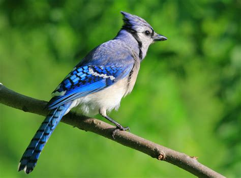 blue jay backyard birds the bird food store matthews nc