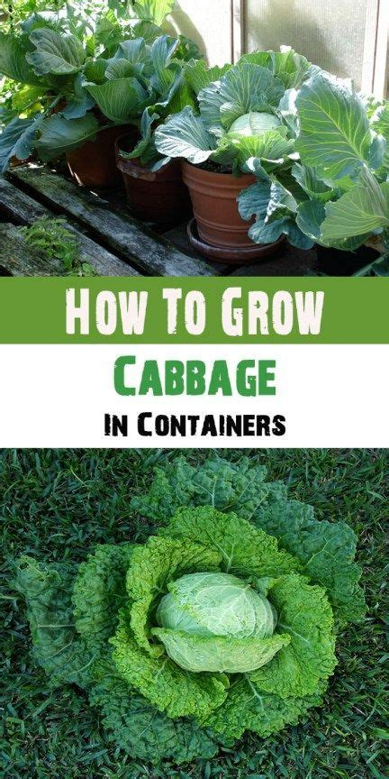 grow cabbage  containers growing vegetables