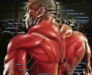Anatomy Of The Mid To Upper Back Muscles  Know Your