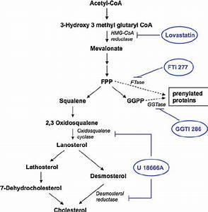 Abbreviated Mevalonate   Isoprenoid  Cholesterol Pathway