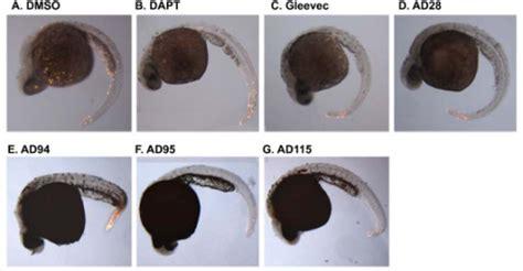 apoptosis  zebrafish embryos treated  compounds
