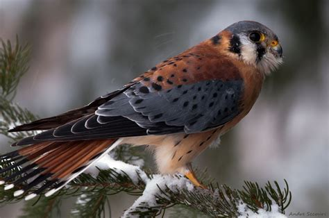 Bird Branch Winter Snow Needles Spruce Wallpaper