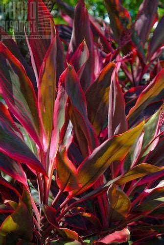 red ti leaf plant    hawaiians  protection