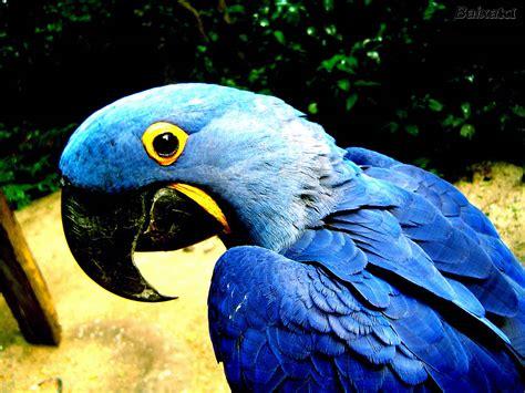 Arara Azul  Edblog  O Blog Do Edson