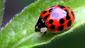 Ladybug look-a-likes that bite could be moving into your home