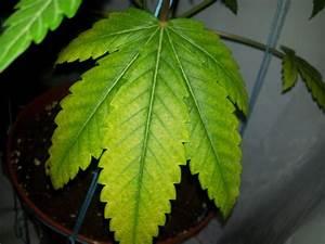 Stickstoffmangel Bei Pflanzen : hanf stickstoffmangel oder doch was anderes ~ Lizthompson.info Haus und Dekorationen