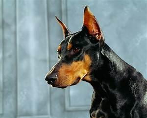 doberman pinscher - Animal Stock Photos - Kimballstock
