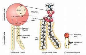 Lipids  Triglyceride And Phospholipid Synthesis