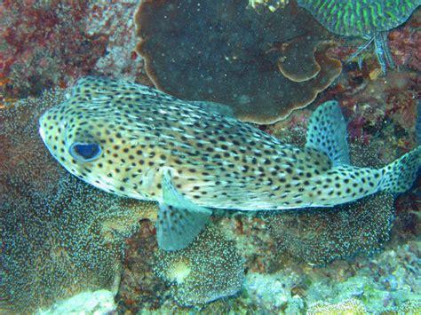 Free Image Of Porcupinefish