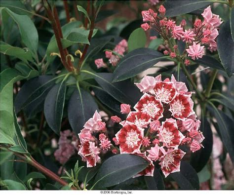 pictures of mountain laurel shrubs beechwood landscape architecture and construction mountain laurel evergreen shrub of the day