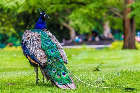 most beautiful peacock hd wallpapers hd 1080p hd