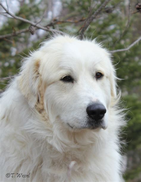 great pyrenees excessive shedding great pyrenees breeds picture