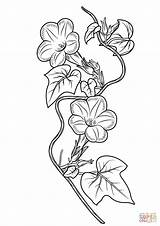Ivy Glory Morning Coloring Drawing Pages Leaf Printable Glories Flower Drawings Tattoo Line Template Sketch Supercoloring Designlooter Templates Adult Version sketch template