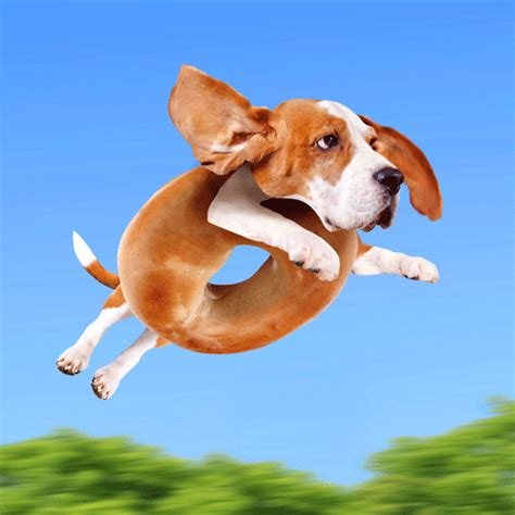 beagle gifs find on giphy