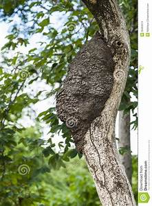Arboreal Termite Nest Stock Images - Image: 35453374