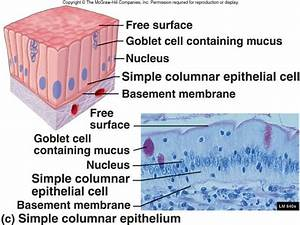 Simple Columnar Epithelium Labeled Diagram