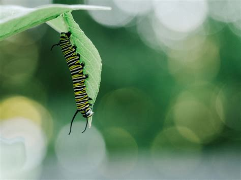 Caterpillar Phone Wallpaper by Caterpillars Insect Wallpaper Free Hd Images For