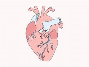 Simple Human Body Organs Diagram