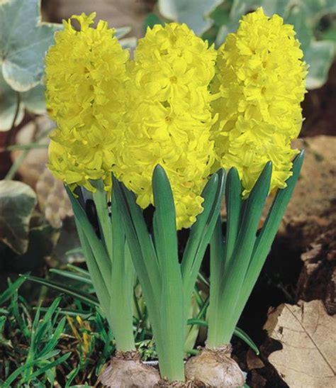hyazinthe im topf gelb  zimmerpflanzen  kaufen