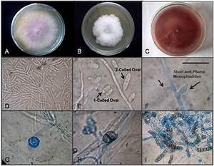 Fusarium Oxysporum  A