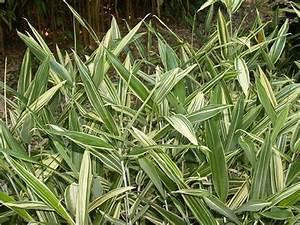 Gros Bambou Deco : bambou n sasa masamuneana 39 albostriata 39 bambou grosses feuilles haie de bambou ~ Teatrodelosmanantiales.com Idées de Décoration