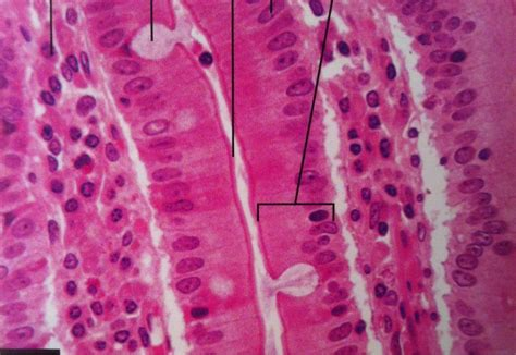 Epithelial Tissue At Florida State College Jacksonville