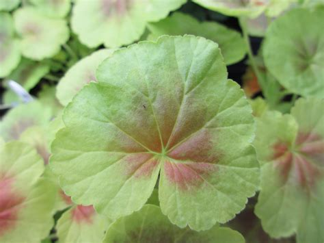 The Well-Watered Garden: Geranium Leaves