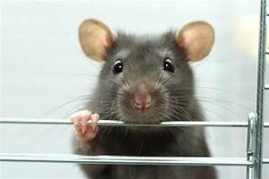 Wie Vertreibt Man Ratten : wie k nnte ein referat zum thema tierversuche aussehen petakids ~ Eleganceandgraceweddings.com Haus und Dekorationen