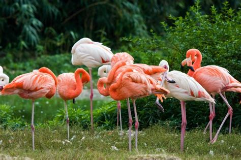 what color is a flamingo flamingos causes of color
