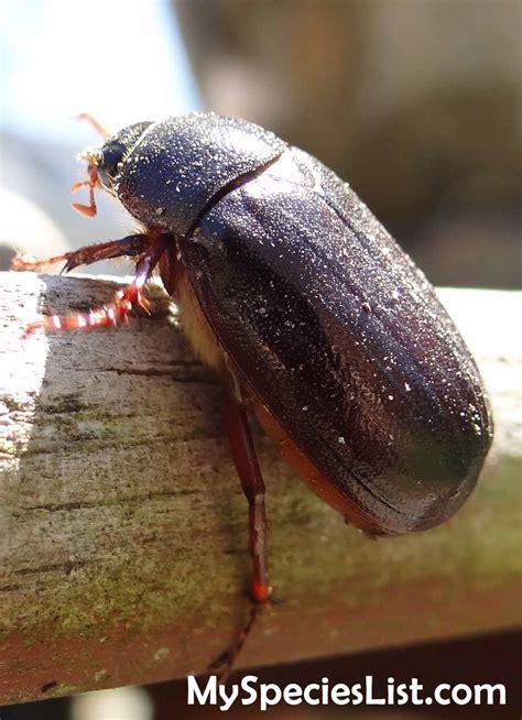 june bug may beetle phyllophaga sp