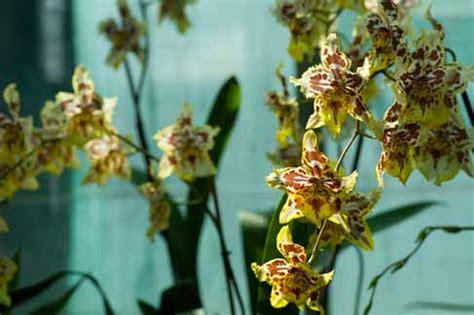soigner les orchid 233 es en pot l atelier des fleurs