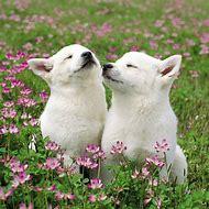 Cute White Puppies