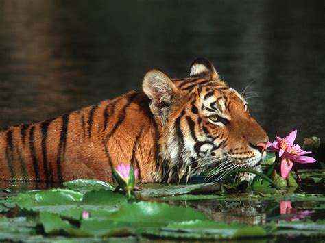 beautiful tiger wallpapers hd desktop wallpapers