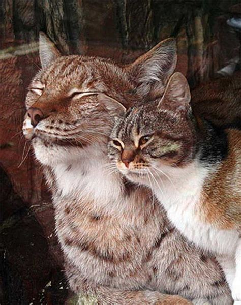 lynx cat friends zoo into stray become imgur breaks cats domestic finds kitten russia