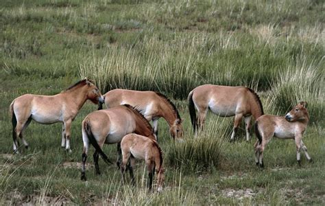 wild horse horses extinct years ago died thousands last przewalski getty metro breed thought