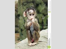 Baby Baboon Stock Photos Image 31072803