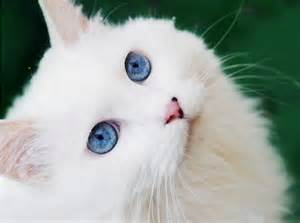 white cats the about white cats with blue with cats