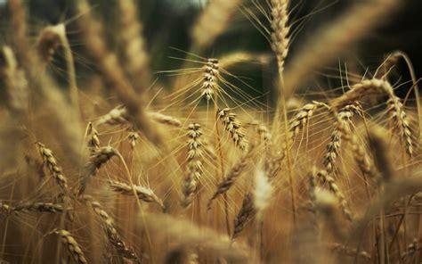 Wheat Macro Hd Desktop Wallpapers 4k Hd