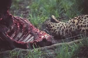 Kostenlose Bild  Jaguar  Tier  Wild Lebende Tiere  Fleisch