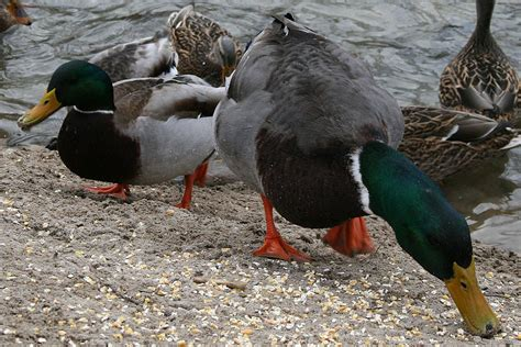 what do mallard ducks eat what to feed ducks the most nutritious foods