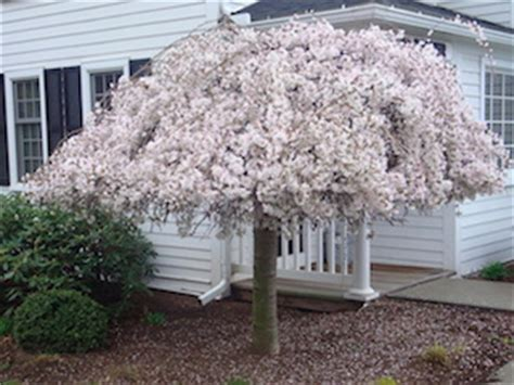 do weeping cherry trees produce cherries weeping cherry tree clearance news plant sales plant specials plants hello hello plants