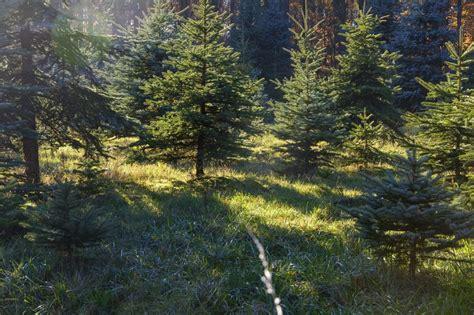Weihnachtsbaum Länger Frisch by Wie Bleibt Der Weihnachtsbaum L 228 Nger Frisch 6 Tipps