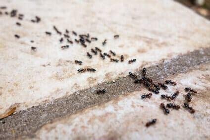 Ameisen Bekaempfen Die Besten Hausmittel by Hausmittel Gegen Ameisen Die Wirklich Helfen Ameisen