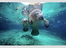 National Animal Of Costa Rica West Indian Manatee